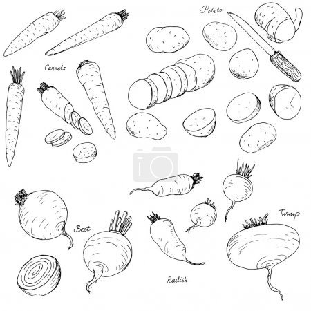 hand drawn root vegetables