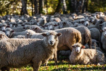 sheep grazing near forest