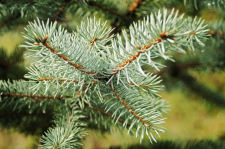Green prickly branches of a fir-tree