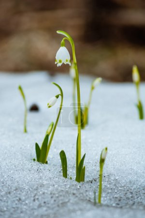 Photo for Snowdrops in the snow on the forest background - Royalty Free Image