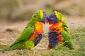 Rainbow lorikeets (Trichoglossus haematodus) fighting