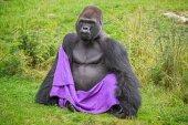 Gorilla wearing a blanket