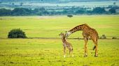 A mother giraffe with her baby
