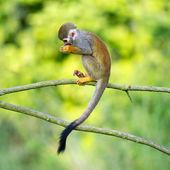 Portrait of common squirrel monkeys