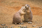 Two prairie dogs sharing their food