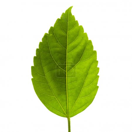 Photo for Green leaf isolated on white background - Royalty Free Image