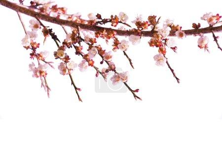 Photo pour Sakura Fleurs ou fleurs de cerisier sur fond blanc - image libre de droit