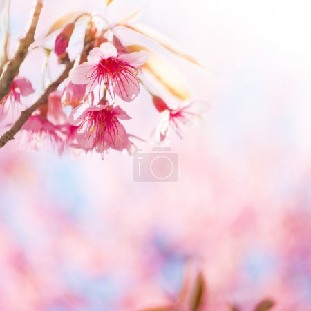 Sakura Flowers or Cherry Blossoms