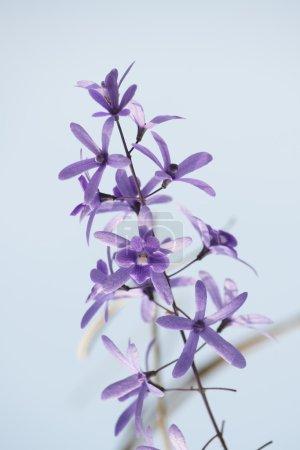 Purple vine flowers