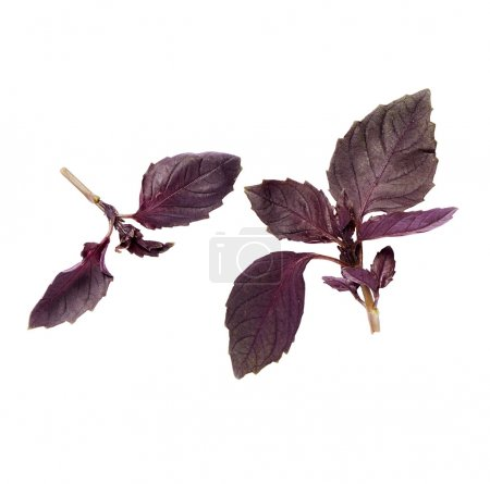 bascillicum rood takjes op een witte ondergrondpurple basil leaves on a white background with a soft shadow.