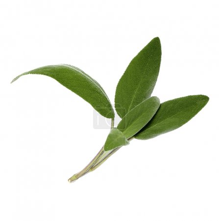 sage leaves on a white background without a shadow