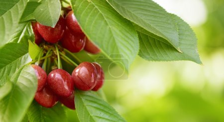 tasty red cherries on a tree