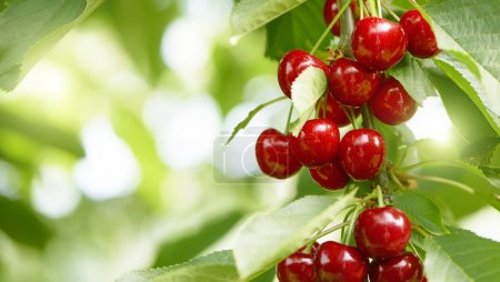 fresh and healthy cherries on a tree