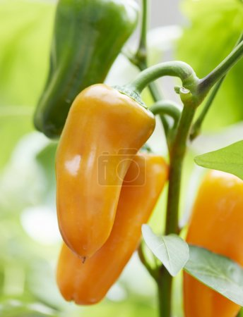 Three fresh orange bell peppers on a plant