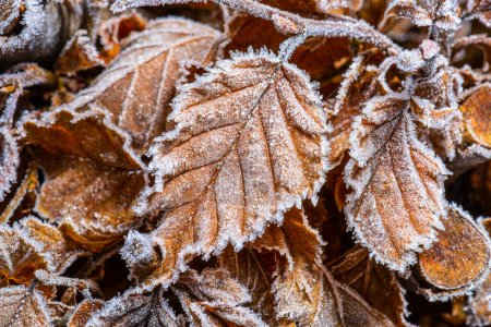 Photo for Brown and frozen leaf on grass.. - Royalty Free Image
