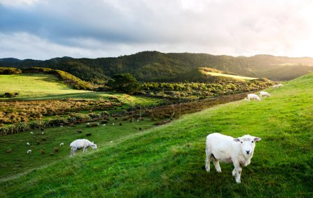 Sheeps in New Zealand