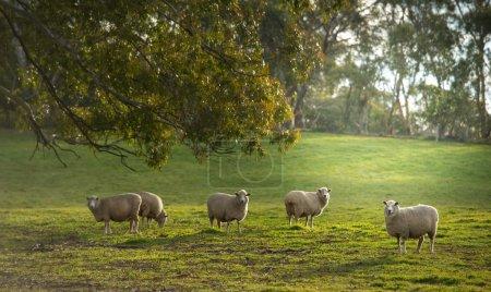 Sheep on meadow in Oberon