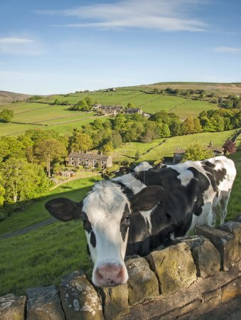 Friesian calf in a field overlooking a Yorkshire Valley