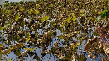 Photo pour Feuilles de lotus flétri en automne - image libre de droit