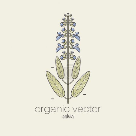 Illustration for Plant motifs. The plant salvia. Vector illustration of a plant used in cosmetics, medicine and cooking. The plant design for packaging, web, creation of goods and services. Modern style mono line. - Royalty Free Image