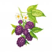 Vector seamless background The branches of a blackberry with berries and flowers isolated on a white background Design for fabrics textiles paper wallpaper web Vintage