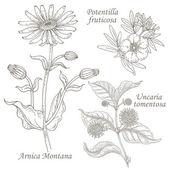 Illustration of medical herbs arnica potentilla uncaria