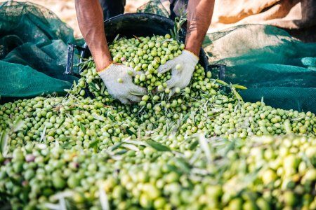 Olives harvest in Sicily
