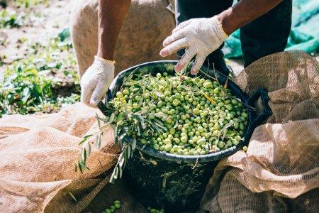 Olives harvest in Sicily