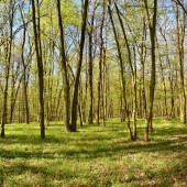 Panorama beautiful green forest in springtime. Green.