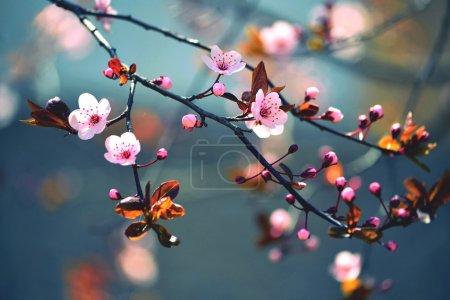 Foto de Hermosa cereza japonesa florida - Sakura. Fondo con flores en primavera.. - Imagen libre de derechos