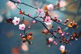 Krásné kvetoucí japonská třešeň - sakura. pozadí s květinami na jarní den