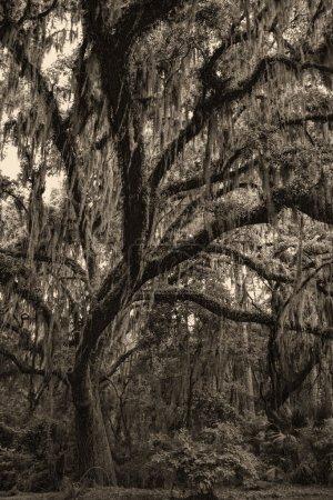 Photo pour This is a beautiful ancient live oak, Quercus geminata, with spanish moss, Tillandsia usneoides, in Savannah Georgia USA. - image libre de droit