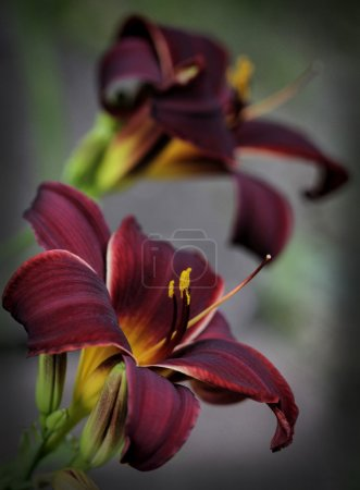 Deep Burgundy and Gold Velvet Daylilies with Vignette 2