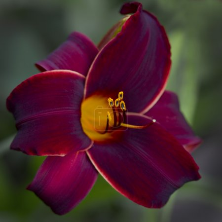 Deep Burgundy and Gold Velvet Daylily Close-up