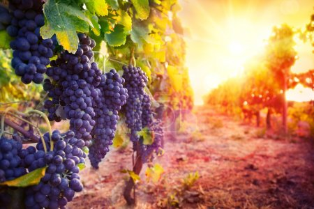Photo for Vineyard with ripe grapes in countryside at sunset - Royalty Free Image
