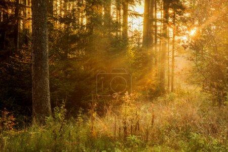 Photo pour Forêt-noire en Allemagne. Soirée orange soleil brille à travers la forêt brumeuse d'or. Magique automne Forrest. Feuilles d'automne coloré. Fond romantique. Rayons du soleil avant le coucher du soleil - image libre de droit