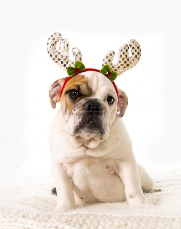 young little French Bulldog cub lying on bed at home with Christmas reindeer horns hat