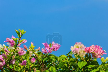 Pink and white blooming bougainvilleas against the blue sky In s