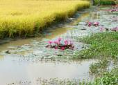 Mekong Delta utazás, a rizs mező, a víz liliom virág