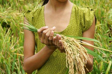 Photo pour La sécurité alimentaire mondiale, un problème mondial, la famine en Afrique, les enfants ont besoin d'aide, les pauvres ont besoin de nourriture pour vivre, main d'enfant avec une gerbe de paddy sur la rizière asiatique - image libre de droit