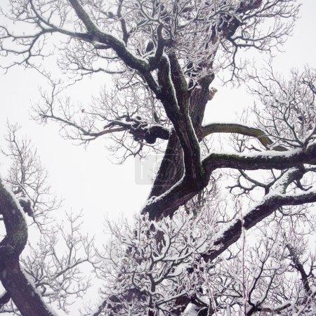 Winter old oak tree