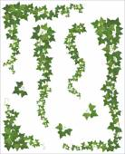 Set of Hanging branches of ivy on a white background
