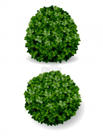 bush decorative boxwood