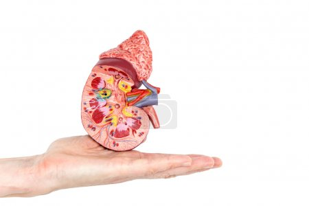 Flat hand showing model with inside of human kidney