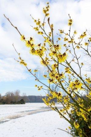 Photo pour Hamamelis mollis fleurs jaunes dans le paysage enneigé pendant la saison d'hiver - image libre de droit