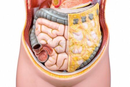 Photo pour Modèle artificiel des intestins humains ou des intestins pour l'éducation à l'école isolé sur fond blanc - image libre de droit
