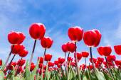 Red tulips field from below with blue sky
