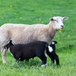 White mother sheep with two drinking black lambs i...