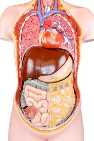 Photo pour Modèle synthétique de torse humain avec organes isolés sur fond blanc - image libre de droit