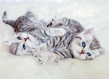 Photo pour Deux jeunes chatons argentés noirs à poil court britanniques tachetés couchés sur de la peau de mouton jouant ensemble - image libre de droit